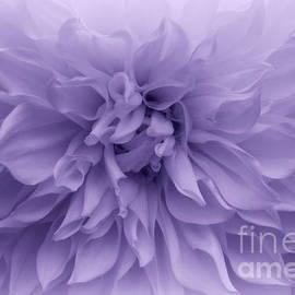 Lavender Beauty - Dahlia by Dora Sofia Caputo Photographic Design and Fine Art