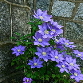 Lavender Clematis at St. Martin's Church by Byron Varvarigos