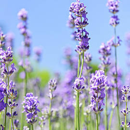 Lavender flowering by Elena Elisseeva