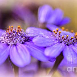 Julie Palencia - Lavender Petals