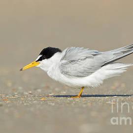Least Tern by Joshua Clark