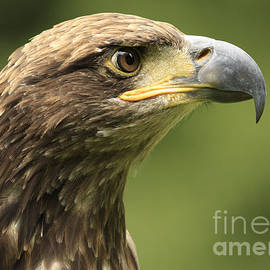 Inspired Nature Photography Fine Art Photography - Legendary Juvenile Bald Eagle
