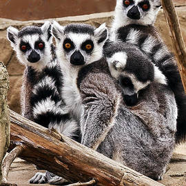 Lemurs It is a Family Affair by Marcia Colelli