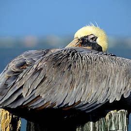 Let Sleeping Pelicans Lie by Susan Molnar