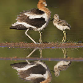 Lets go Baby Avocet by Bryan Keil