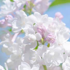 Lilac Flowers by Alexander Senin