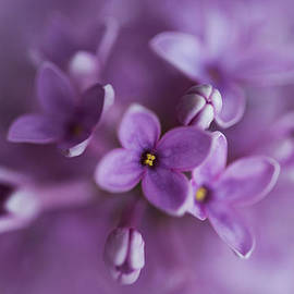Lilacs by Jaroslaw Blaminsky