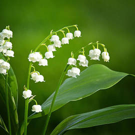 Lily of the Valley by Carolyn Derstine