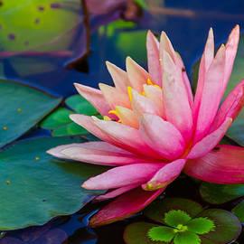 Lily Pond by John Johnson