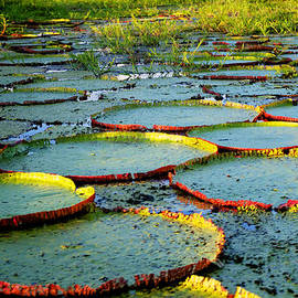 Lily Pond by John  Nickerson