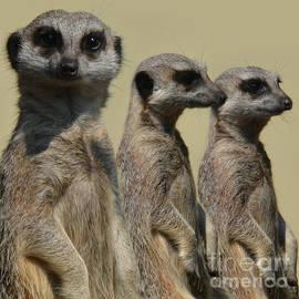 Paul Davenport - Line dancing meerkats