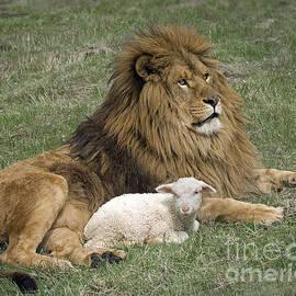 Wildlife Fine Art - Lion and Lamb