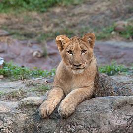 Lion Cub by John Black