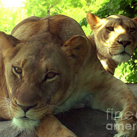 Gary Gingrich Galleries - Lioness-00104