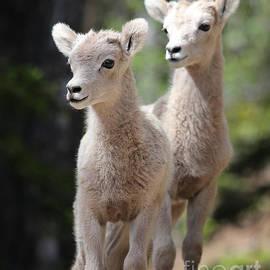 Little Bighorns by Marty Fancy