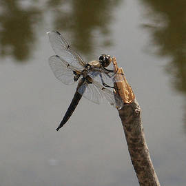 Little Payette Dragonfly by Tarey Potter