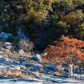 Silvio Ligutti - Lone Bald Cypress at Pedernales Falls State Park - Johnson City Texas Hill Country