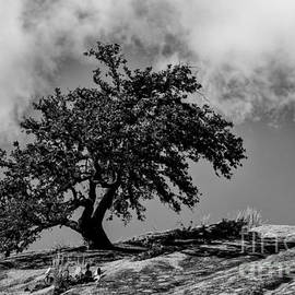 Lone Oak Atop Little Rock - Enchanted Rock State Natural Area Texas Hill Country by Silvio Ligutti