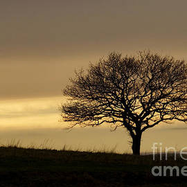 Lone Tree by Inge Riis McDonald