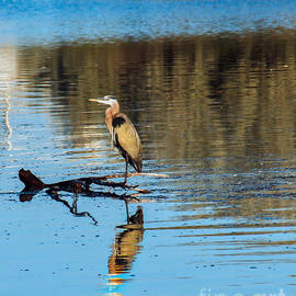 Lonely Great Blue Heron by Robert Bales