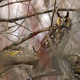 Long-eared Owl by Melissa Peterson