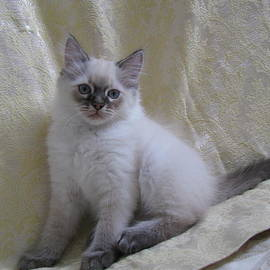 Long Hair Kitten Lynx Point by Pamela Benham
