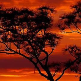 Stuart Harrison - Long Leaf Pine