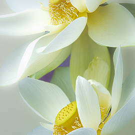 Lotuses in Bloom by Julie Palencia