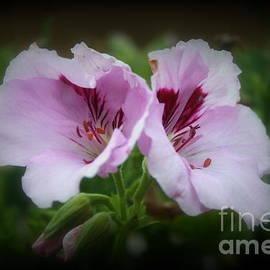 Kay Novy - Lovely Geranium Flowers