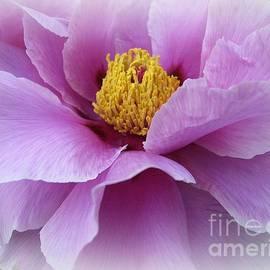 Dora Sofia Caputo Photographic Design and Fine Art - Lovely in Lavender - Peony