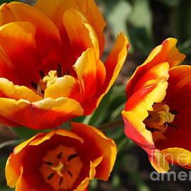 Dora Sofia Caputo Photographic Art and Design - Colorful Parrot Tulips