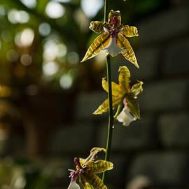 Georgia Mizuleva - Luminous Chain of Orchids