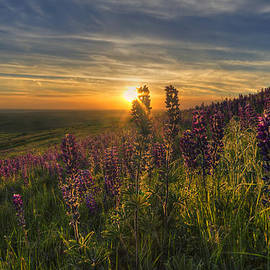 Lupine Sunset by Mark Kiver