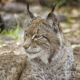 Lynx in close up by Patricia Hofmeester