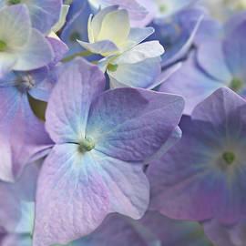 Macro Purple Hydrangea Flowers by Jennie Marie Schell