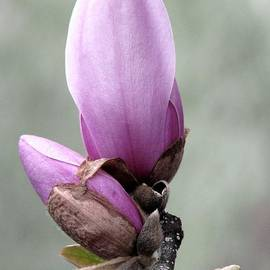 Angela Davies - Magnolia A Gift Of Spring