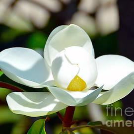 Magnolia Grandiflora by Catherine Sherman