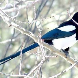 Marilyn Burton - Magpie on Aspen Tree