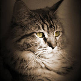 Maine Coon Portrait by M Spadecaller