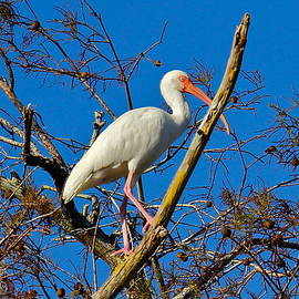 Majestic Ibis by Denise Mazzocco