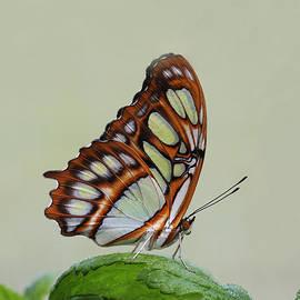 Judy Whitton - Malachite Butterfly #5