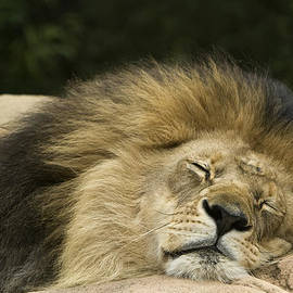 David Millenheft - Male African Lion