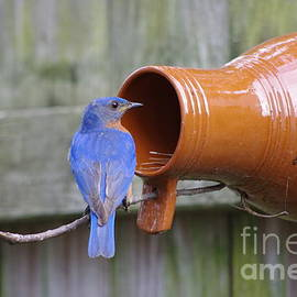 Tannis  Baldwin - Male Bluebird