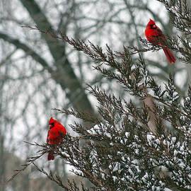 Male Cardinal Pair by Karen Adams