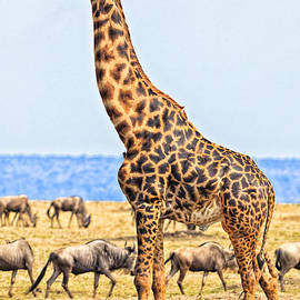 Male Giraffe Posing  by Perla Copernik