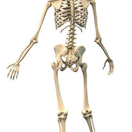 Male Human Skeleton In Dynamic Posture by Leonello Calvetti