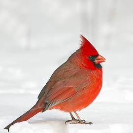 Male Northern Cardinal by John Vose