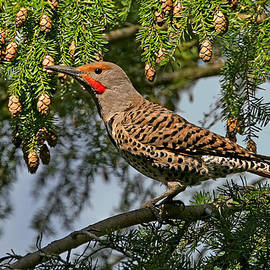 Peggy Collins - Male Red-Shafted Northern Flicker