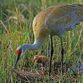 Sandhill Crane with 4 day old Colt by Larry Nieland