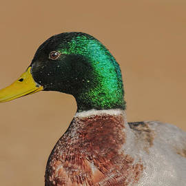 Lara Ellis - Mallard Duck